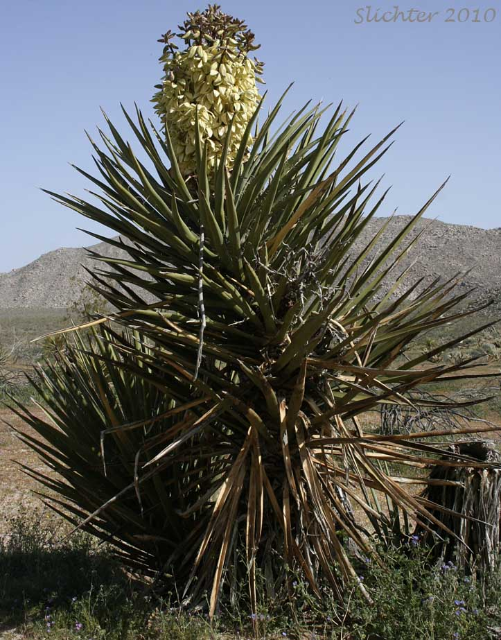 Mojave Yucca Mohave Yucca Yucca Schidigera Synonyms