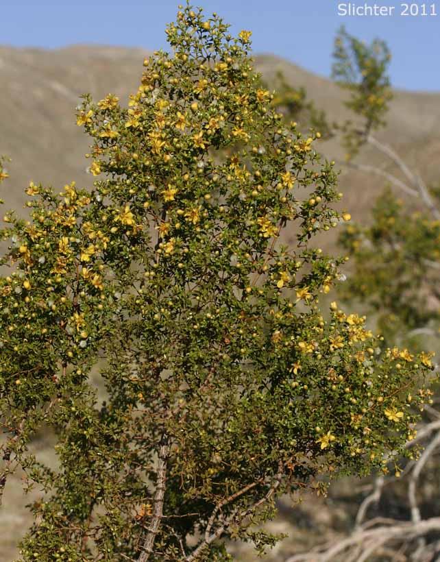 Creosote Bush Larrea Tridentata Synonym Larrea