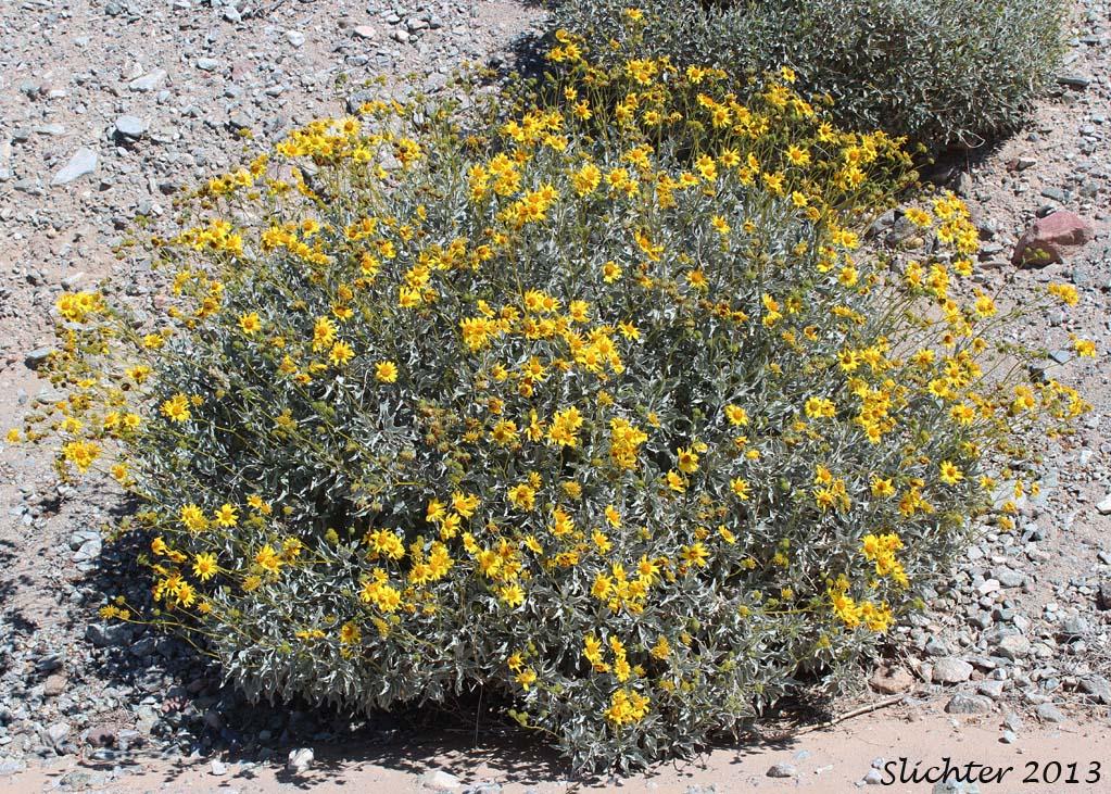 Brittlebush Goldenhills Incienso Encelia Farinosa