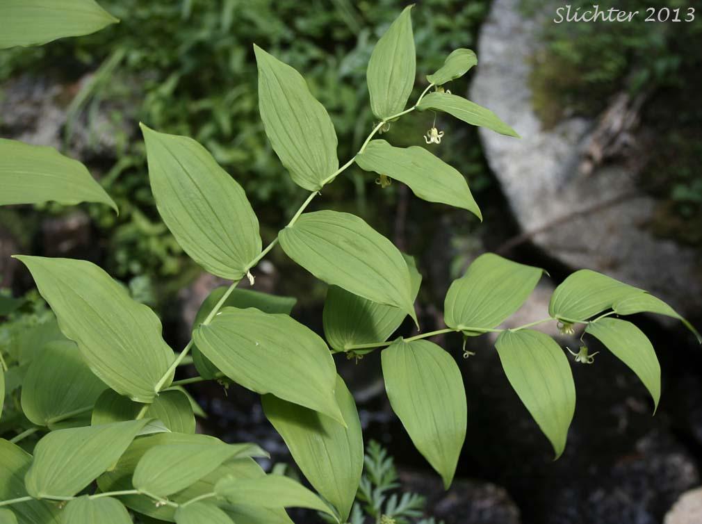 Clasp Leaf Twisted Stalk Claspingleaf Twistedstalk