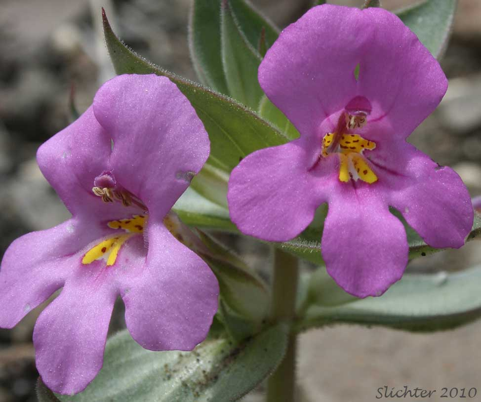 Nesoms Monkeyflower Diplacus Cusickioides Synonym Mimulus Cusickii