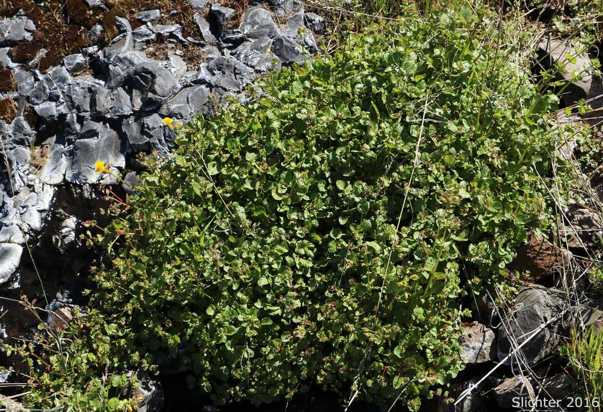 Common Monkeyflower Common Monkey Flower Seep Monkeyflower Seep