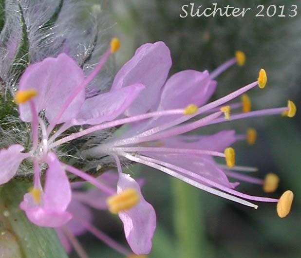 Blue Mountain Prairie-clover, Ornate Dalea, Western Prairie-clover