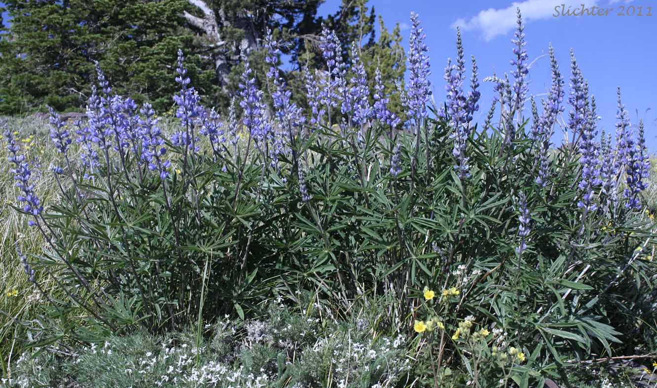 Kellogg's Spurred Lupine, Spurred Lupine, Tailcup Lupine ...
