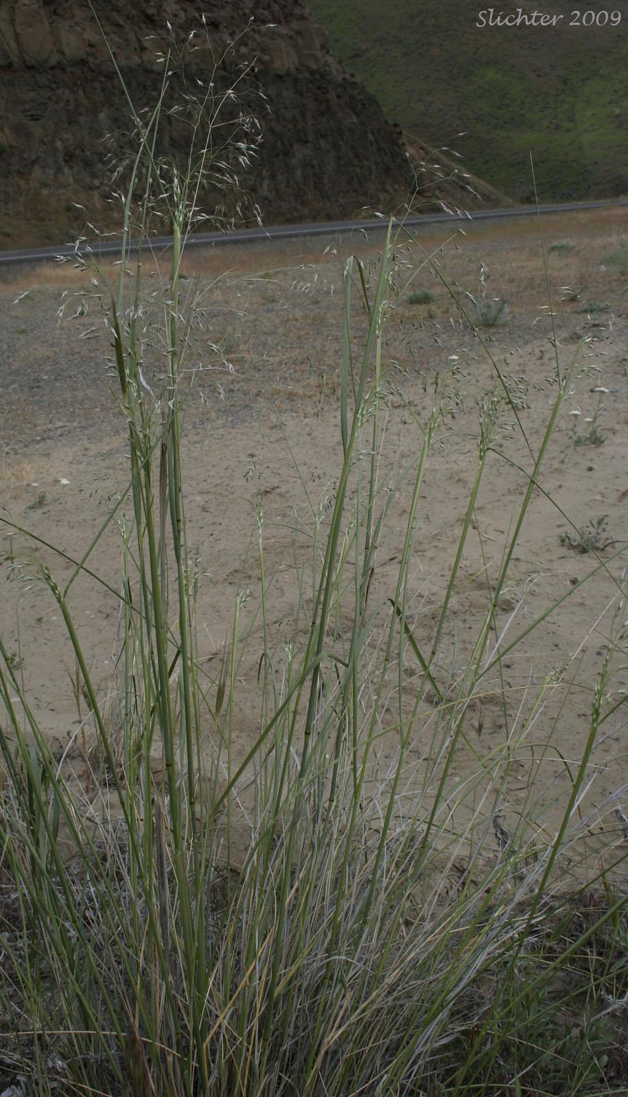Indian ricegrass achnatherum hymenoides synonyms for Soil synonym