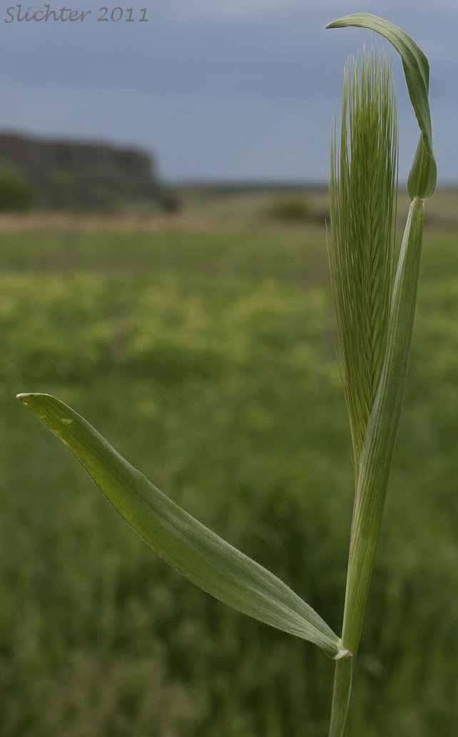 Charming Barley  Hare Barley  Mouse Barley  Hordeum