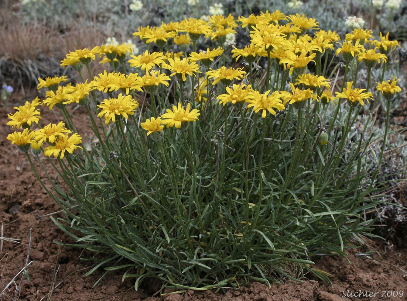 Desert yellow daisy yellow desert daisy desert yellow fleabane desert yellow daisy yellow desert daisy desert yellow fleabane lineleaf fleabane erigeron izmirmasajfo