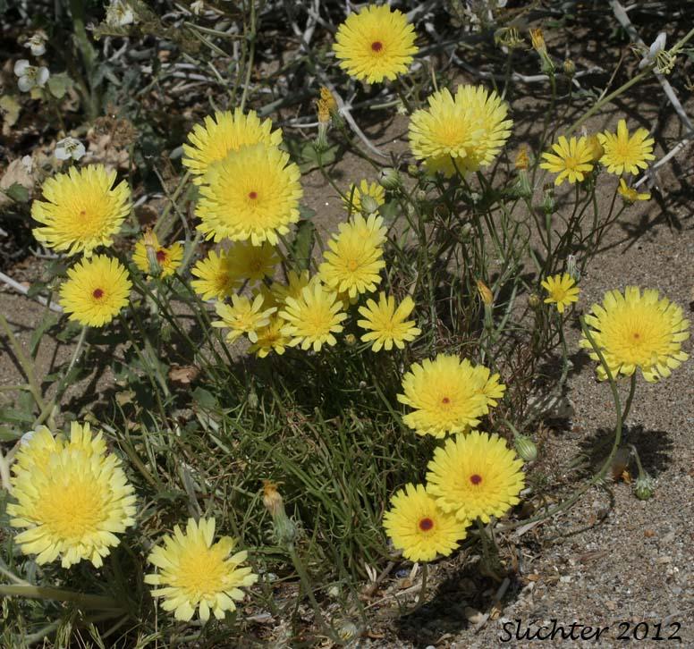 Smooth Malacothrix Smooth Desertdandelion Desert
