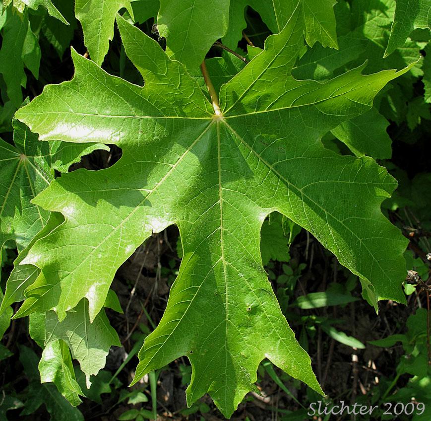 Bigleaf Maple Acer Macrophyllum