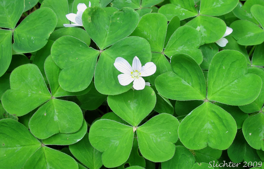 Oregon Wood Sorrel, Redwood Sorrel, Redwood-sorrel, Sour Grass: Oxalis oregana (Synonyms: Oxalis oregana var. oregana, Oxalis oregana var. smallii)