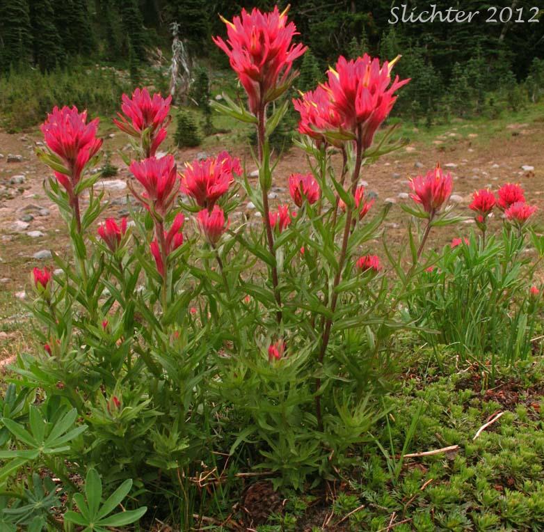 Magenta Paintbrush Castilleja Parviflora On Mount Rainier Cascade ...