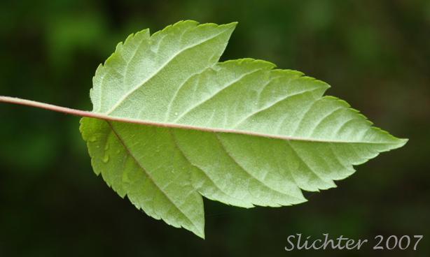 Western Crabapple, Oregon Crabapple: Malus fusca (Synonyms ...