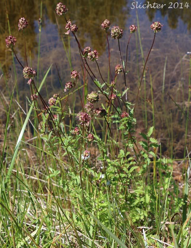 Garden Burnet, Small Burnet: Poterium sanguisorba (Synonym ...