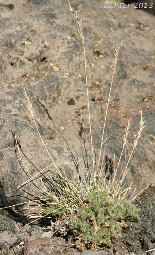Alpine fescue festuca brachyphylla ssp brachyphylla for Soil synonym