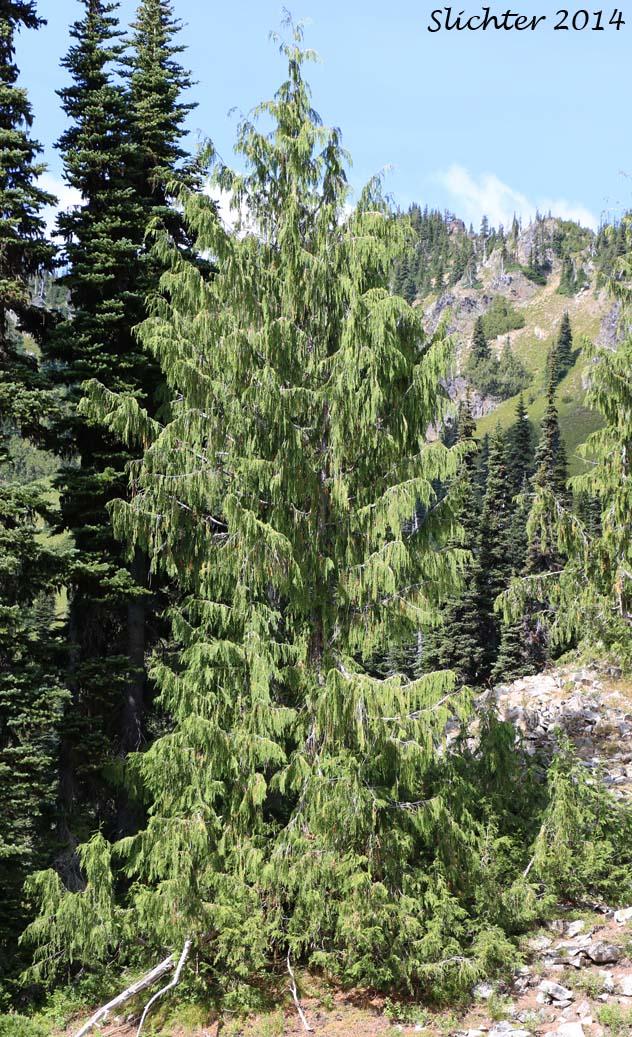 Alaska Cedar Alaska Yellow Cedar Nootka Cedar Nootka