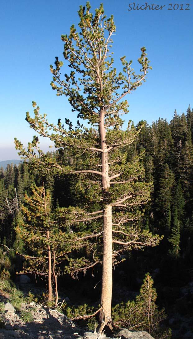 Whitebark Pine Pinus Albicaulis Synonym Apinus Albicaulis