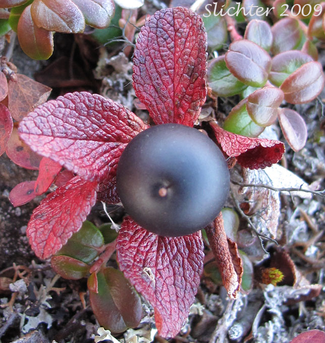Alpine bearberry black bearberry ptarmiganberry torpedoberry arctous alpina synonyms