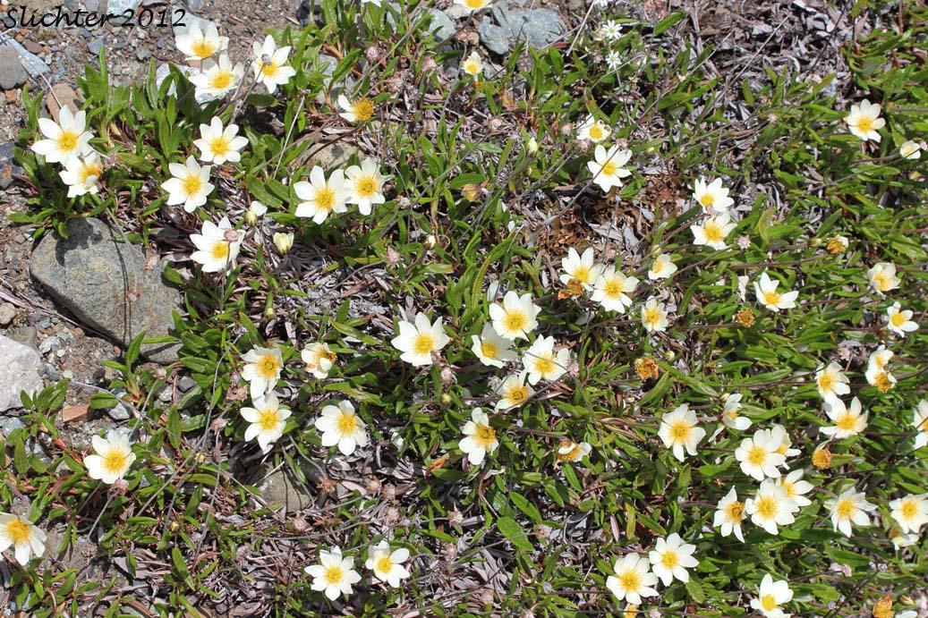 Alaskan Mountain-avens, Mountain Avens, Eight-petal ...