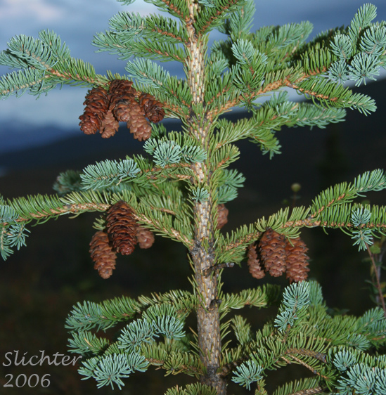 Conifers Of Denali National Park