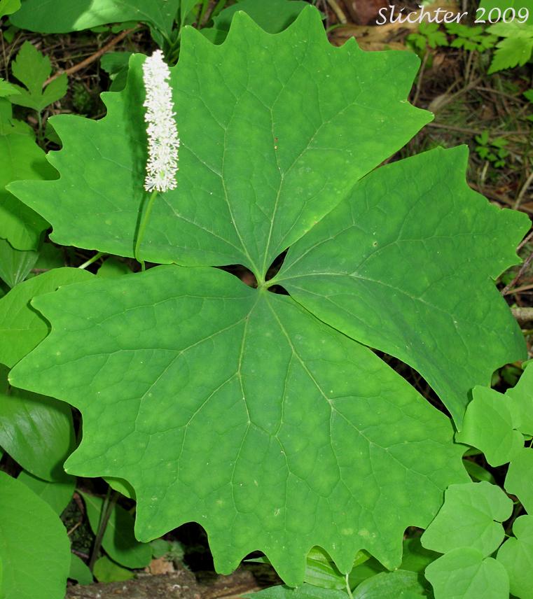 Vanillaleaf Vanilla Leaf Sweet After Death Deerfoot