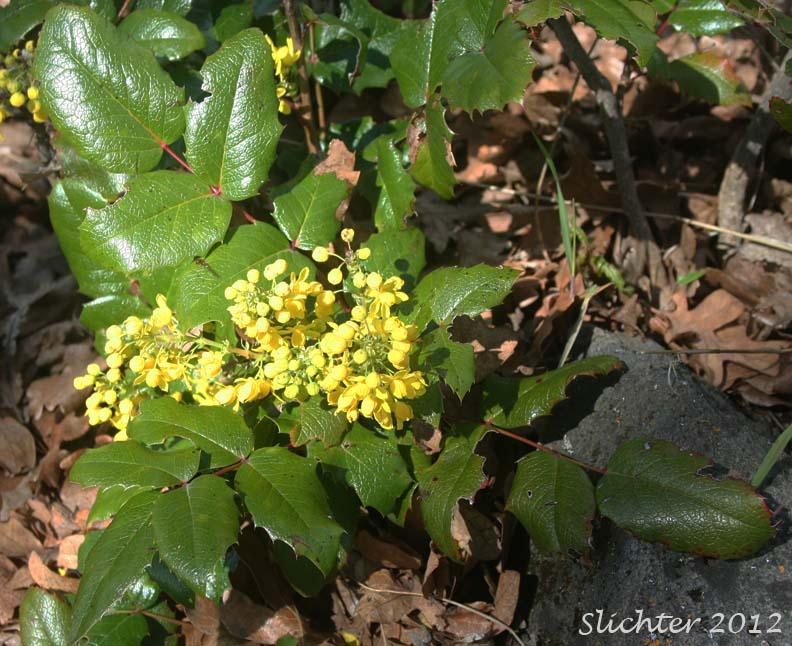 Holly Leaf Oregon Grape Shining Oregon Grape Tall Oregon