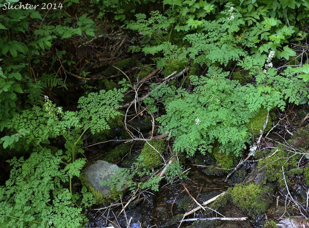 Corydalis Cold Water Corydalis Marsh Corydalis Corydalis Aquae
