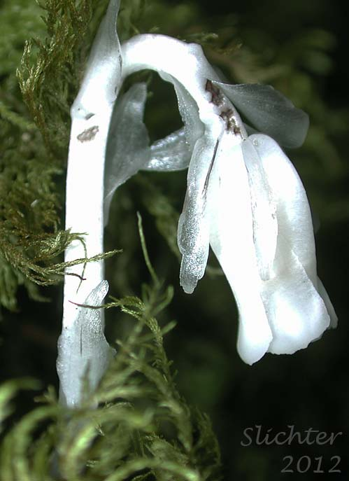 Indianpipe Indian Pipe One Flower Indian Pipe Monotropa