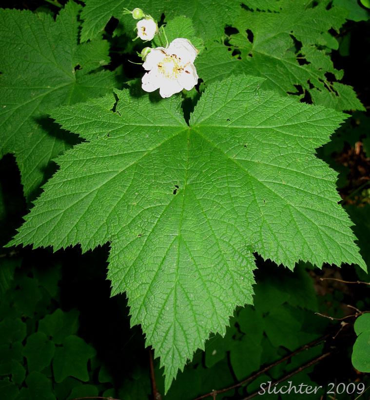 Types of Palmately Compound Leaf Palmately Compound Leaf of