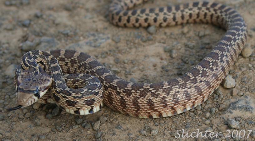 Gopher Snake Vs Rattlesnake