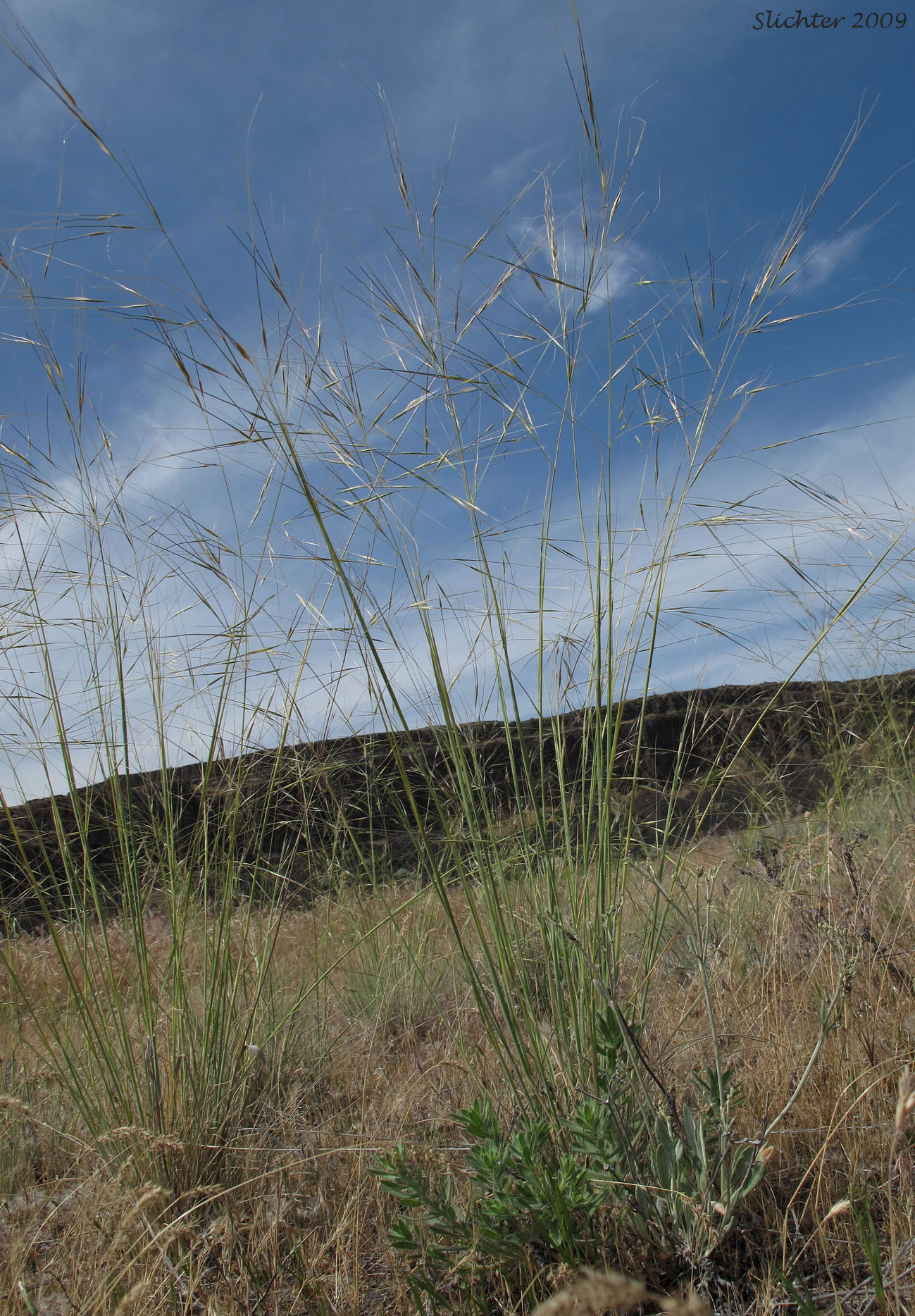 Needle and thread grass as Needle And Thread Grass
