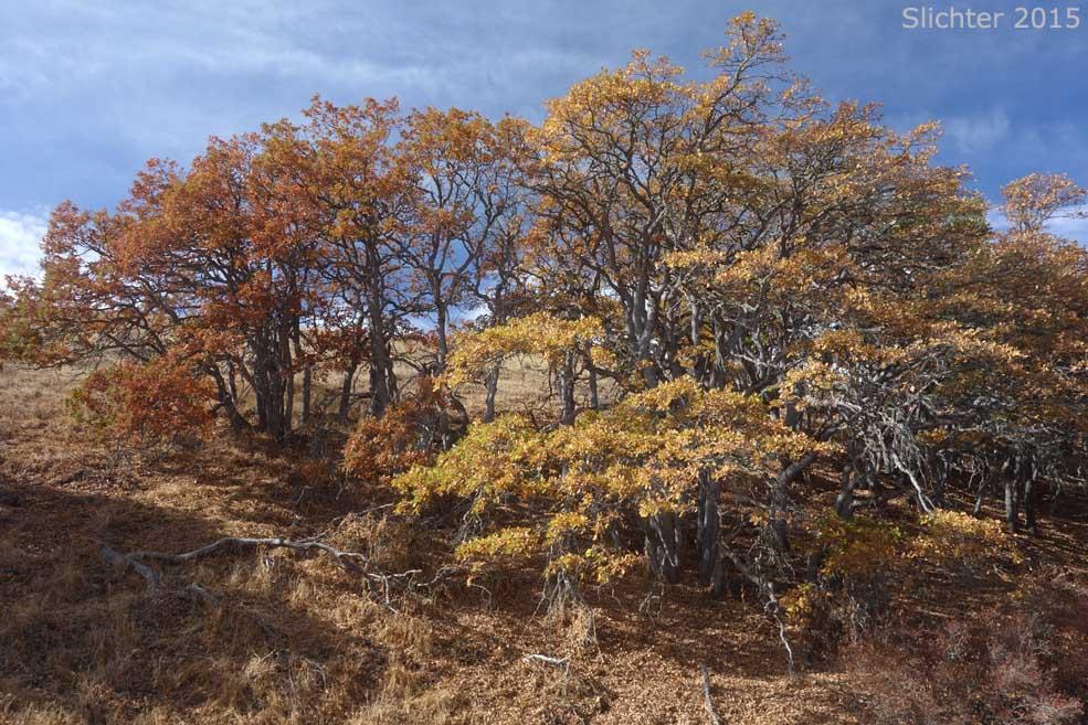 Oregon white oak garry quercus garryana var