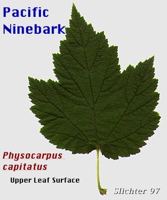 Pacific Ninebark: Physocarpus capitatus (Synonyms: Neillia ...