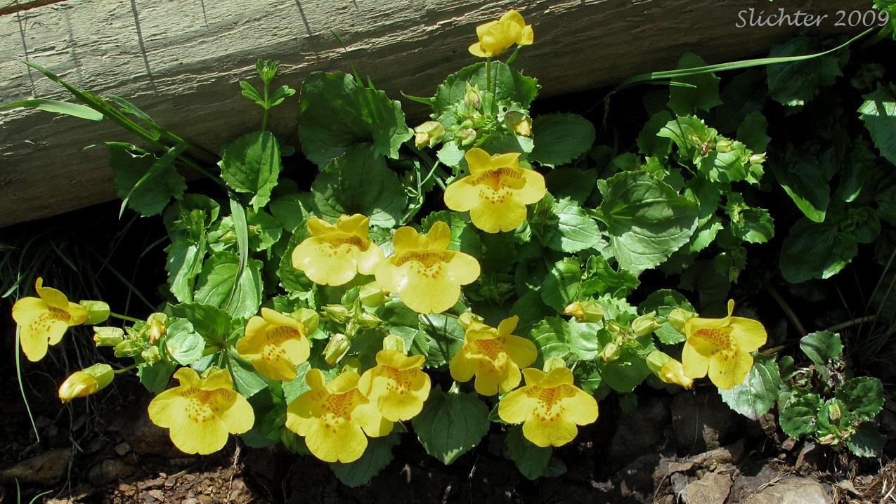 Common Monkeyflower Seep Monkeyflower Yellow Monkeyflower
