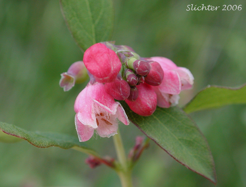 common snowberry symphoricarpos albus var laevigatus