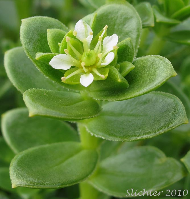 Sea Purslane Seabeach Sandwort Seaside Sandplant Honckenya Peploides Var Major Synonyms