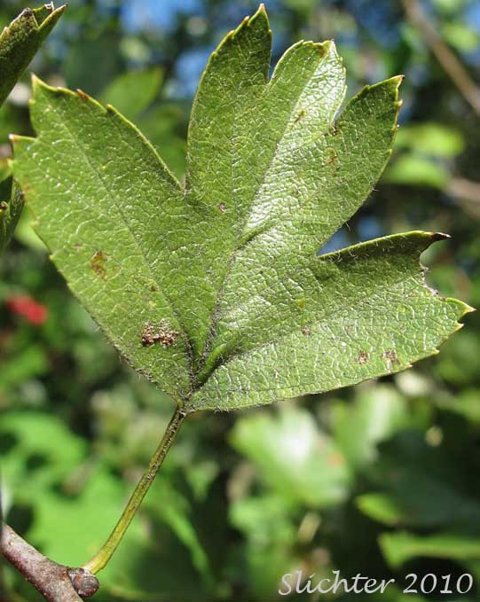 One-seeded Hawthorn, Common Hawthorn, English Hawthorn ...
