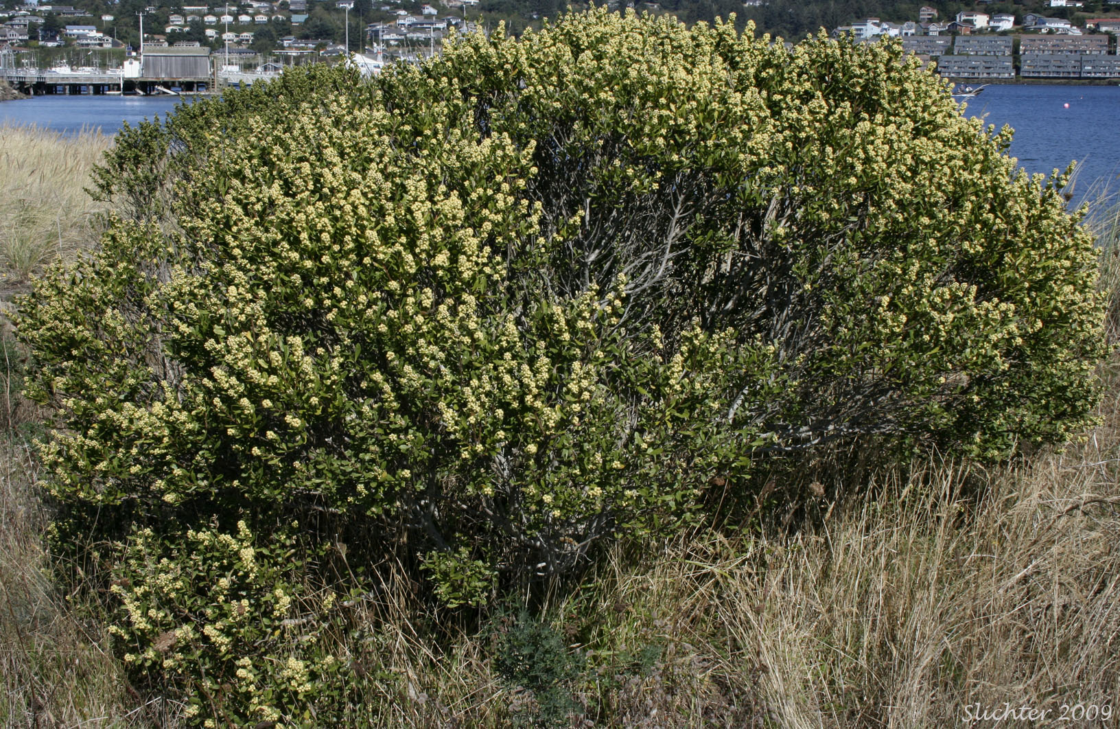 Coyote Brush Chaparral Chaparral Broom, Chapp...