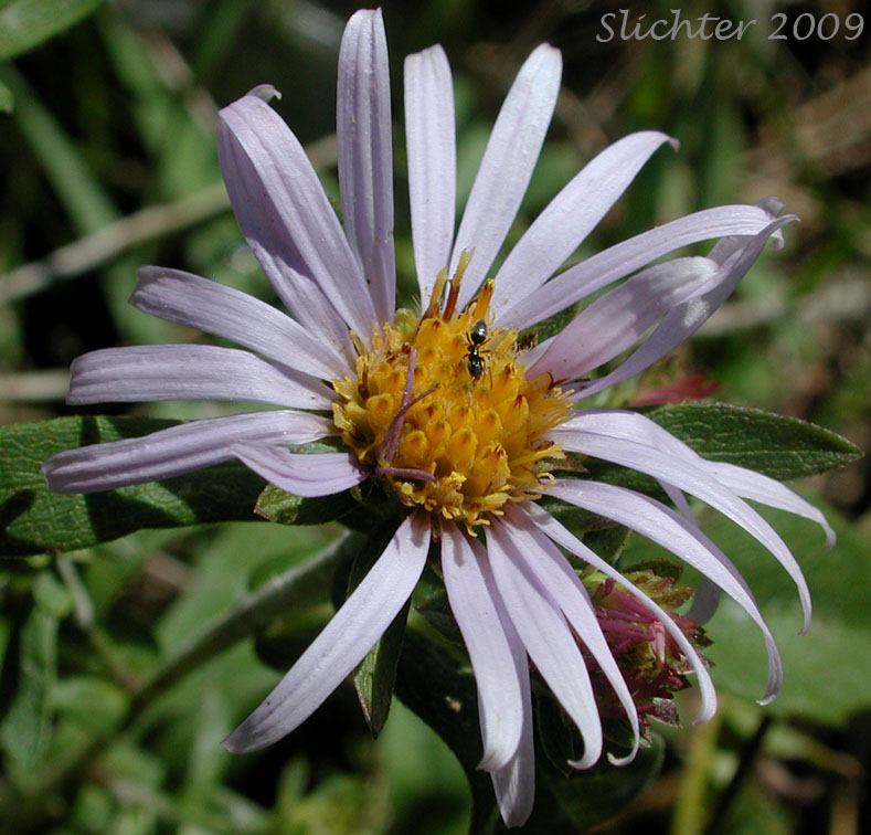 Common California Aster Pacific Aster Symphyotrichum